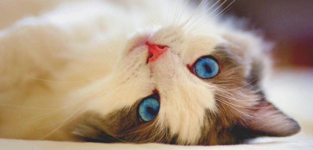 Lucrezia il Gato